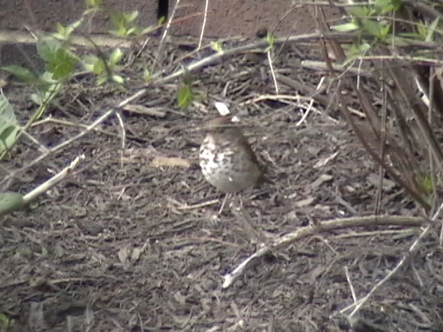 Click to go to the full Swainson's Thrush page