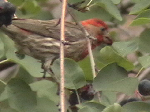 Click on photo to go to House Finch page.