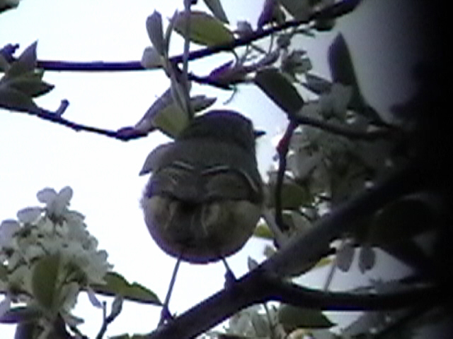 Click to go to the full Ruby-crowned Kinglet page