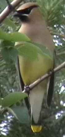 Mouse click on Picture to branch to Cedar Waxwing page.